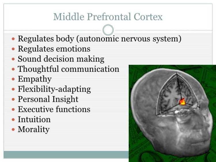 Middle+Prefrontal+Cortex